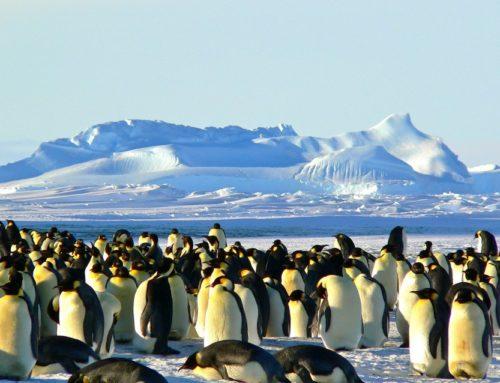 Tučňáčí výzva: buďte zdraví díky otužování
