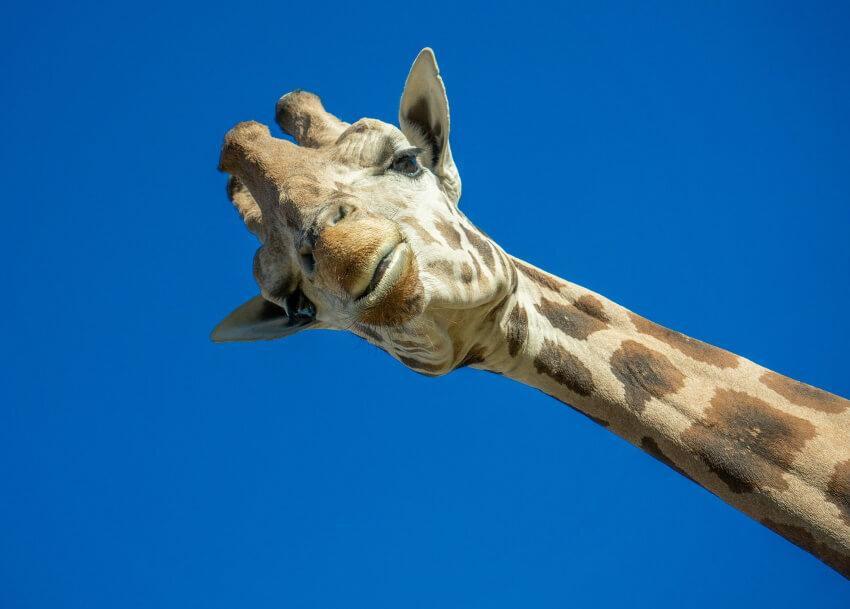 žirafa